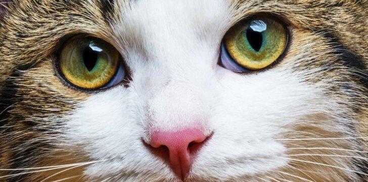 Katės akys