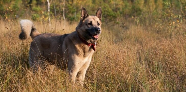Vakarų Sibiro laikos veislės šuo