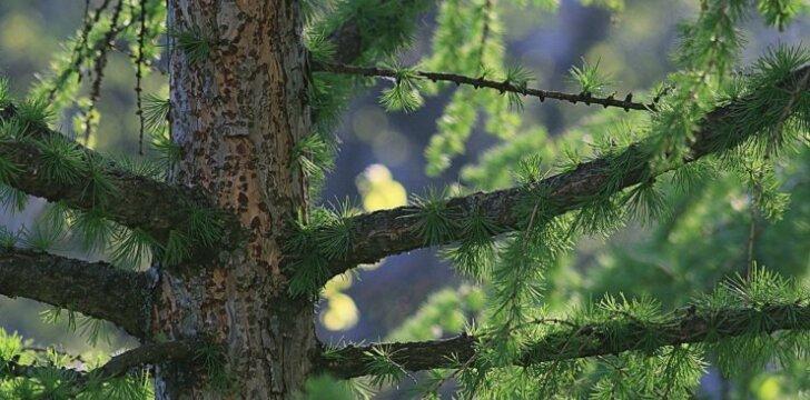Išnykęs spygliuotis, kurį lietuviai vėl sugrąžino į parkus
