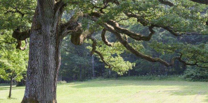 Ąžuolo mediena. Pagrindinės medienos savybės bei charakteristikos