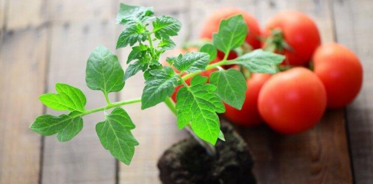 Kaip neturint sėklų namuose užsiauginti pomidorų