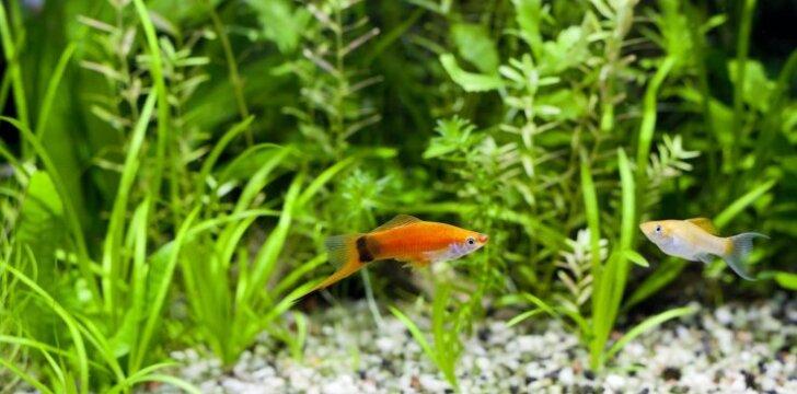 Augalai gyvavedžių žuvyčių akvariume