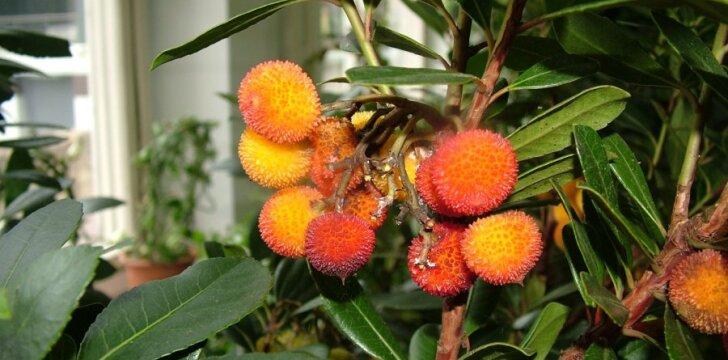 Lietuvoje auga egzotinius vaisius vedantys augalai