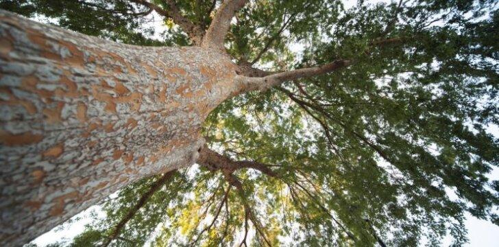 Klausia skaitytojas: ką daryti, jei trukdo kaimyno medis?