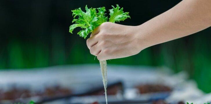 Hidroponinis daržas – galimybė džiaugtis šviežiomis daržovėmis net žiemą