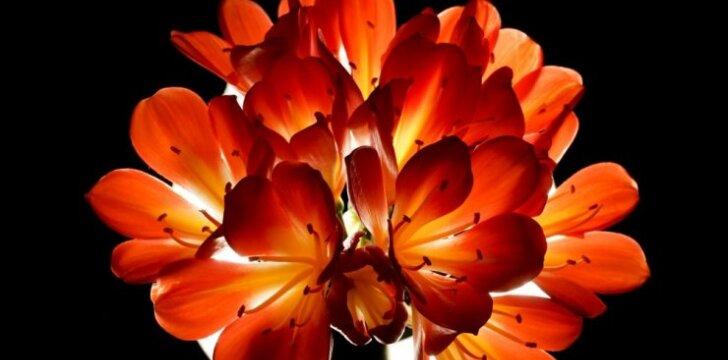 Klivija – kambarinė gėlė, kuri puoš jūsų namus ne vieną dešimtmetį