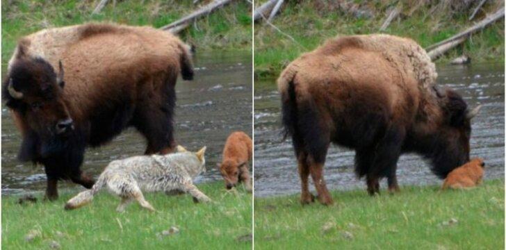 Kojotas užpuolė bizono jauniklį