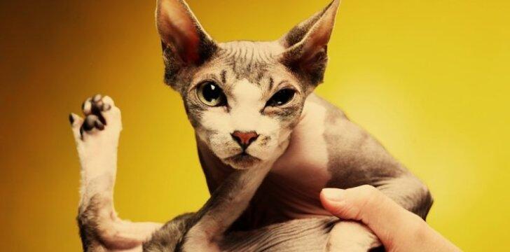 Susipažinkite: vienos žemiausių kačių pasaulyje