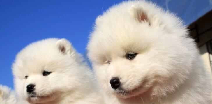 10 šunų veislių alergiškiems žmonėms