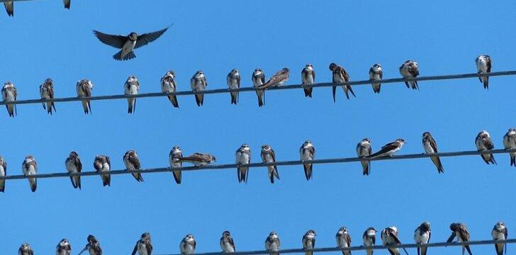 Paukščiai Ventės rage