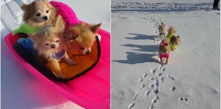 Čihuahua veislės šuneliai linksminasi sniege