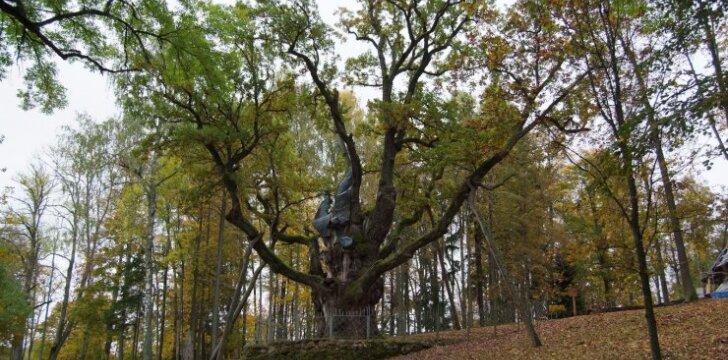 Stelmužės ąžuolas dalyvauja Europos 2017 metų medžio konkurse