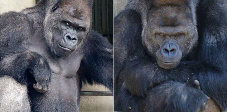 Gorila Shabani