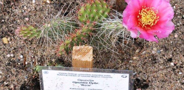 Botanikos sode pražydęs kaktusas