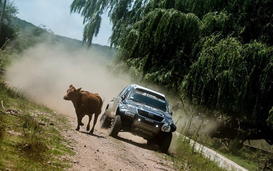 Karvė priešais B. Vanago automobilį