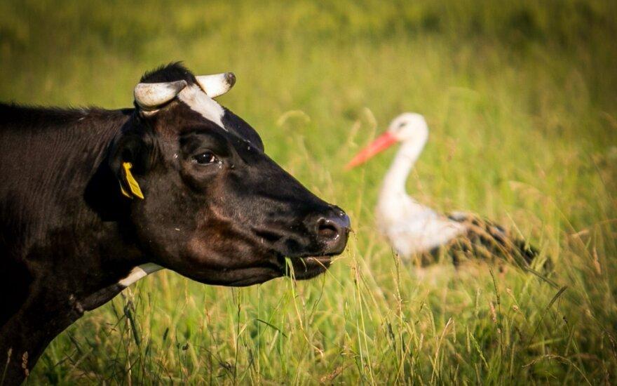 Kinija patvirtino leidimą Lietuvos pieno produktų eksportui