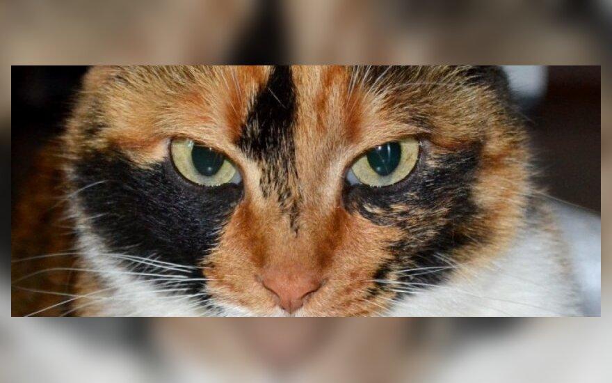 Marga katytė Skarlet ieško namų