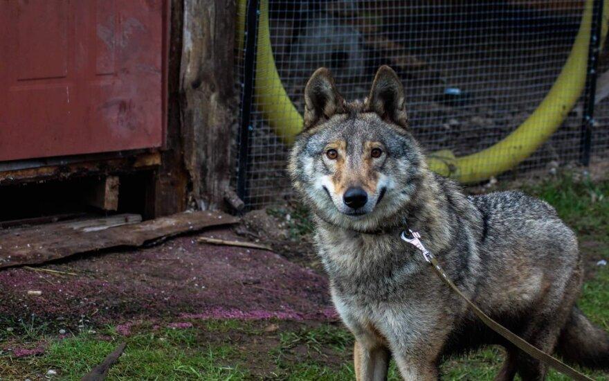 Vilko ir šuns hibridė Luna