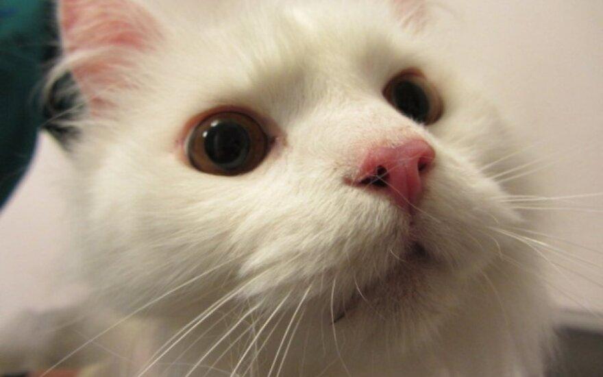 Vilniuje rastas baltas, pūkuotas katinas