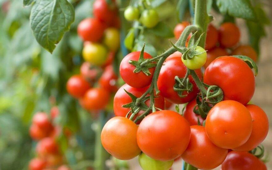 Kaip padidinti pomidorų derlių ir pagreitinti jų nokimą