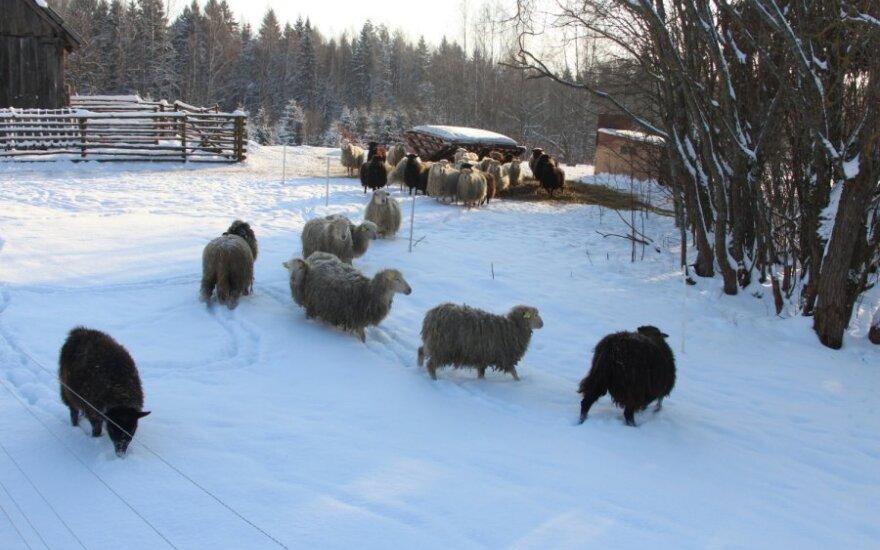 Mildos Juknevičiūtės nuotr. / Škudės – seniausia Lietuvoje gyvenančių avių rūšis