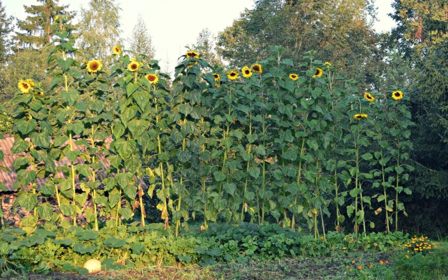 Anykščių r. išaugo rekordinio dydžio saulėgrąža