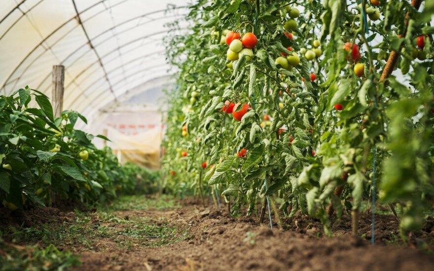 Kokios geriausios pomidorų trąšos – liaudiškos priemonės