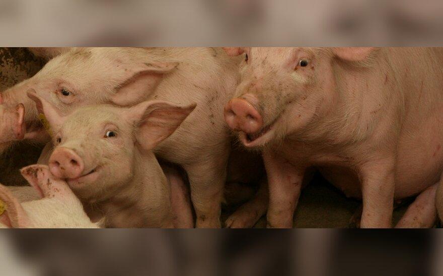 Rusijos veterinarijos tarnyba: kiaulių maras Lietuvoje jau keturis mėnesius