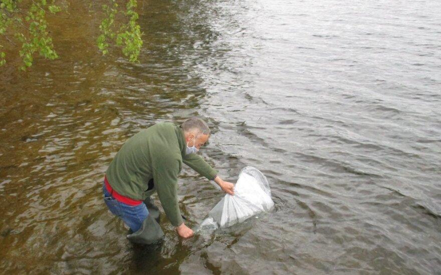 Žuvinimo sykais darbai