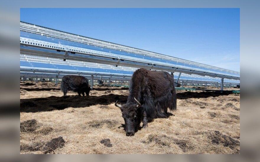 Kinijoje saulės kolektoriai yra sumontuoti aukštai nuo žemės, todėl saulės šviesa pasiekia žemę ir augančia žole gali maitintis vietiniai jakai