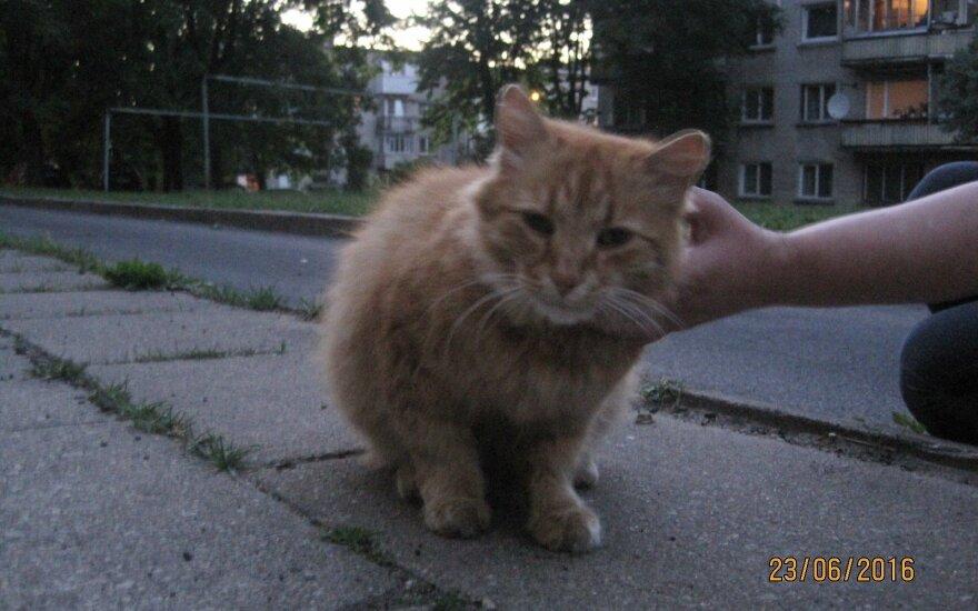 Svarainis – naminis katinas, atsidūręs gatvėje ieško namų