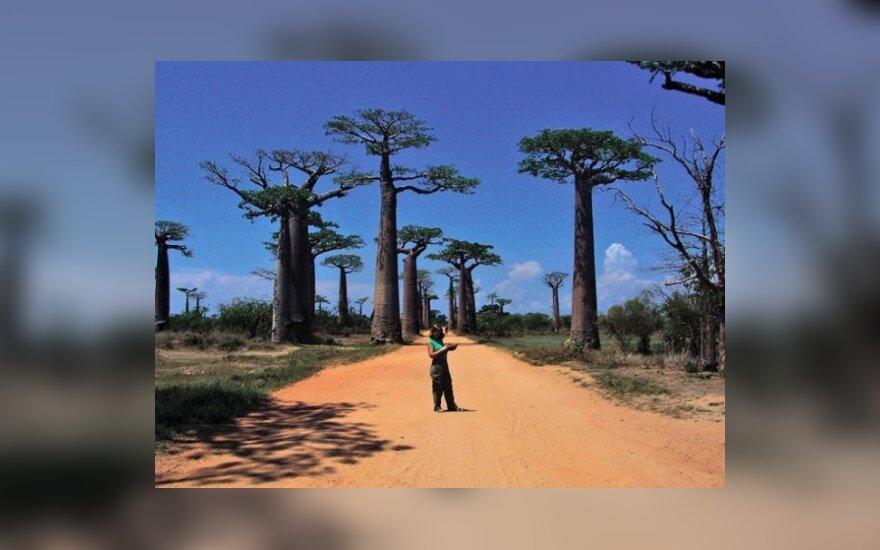 Iš 8 pasaulyje augančių baobabų rūšių net 6 auga Madagaskare