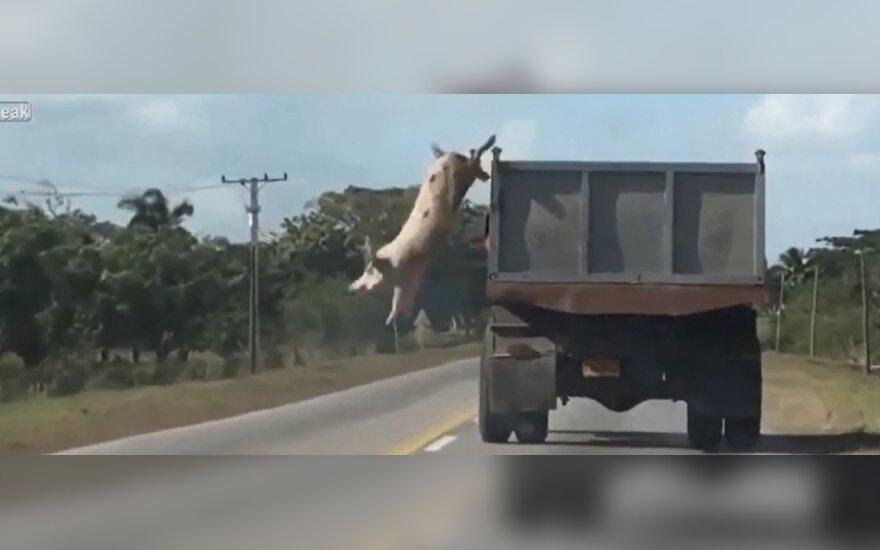 Vaizdo įrašas: ši kiaulė tikrai nusipelnė amnestijos