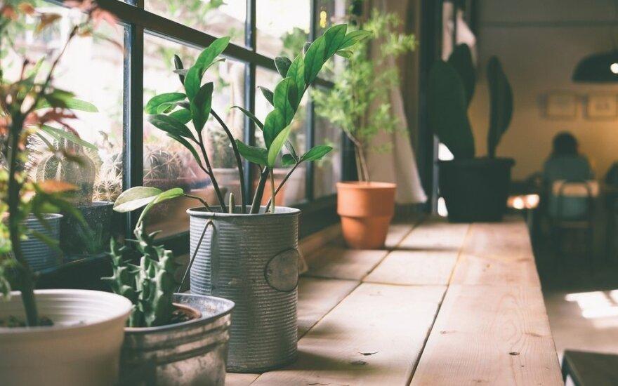 10 lengviausiai auginamų kambarinių gėlių