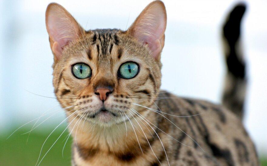 """Tinkamiausia katės veislė pagal <span style=""""color: #c00000;"""">jūsų Zodiako ženklą</span>"""