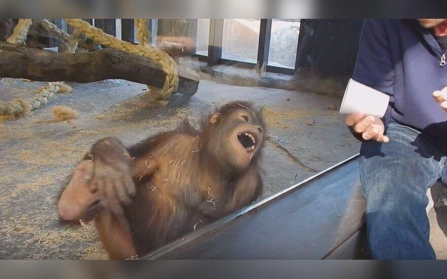 Orangutanas juokiasi iš triuko