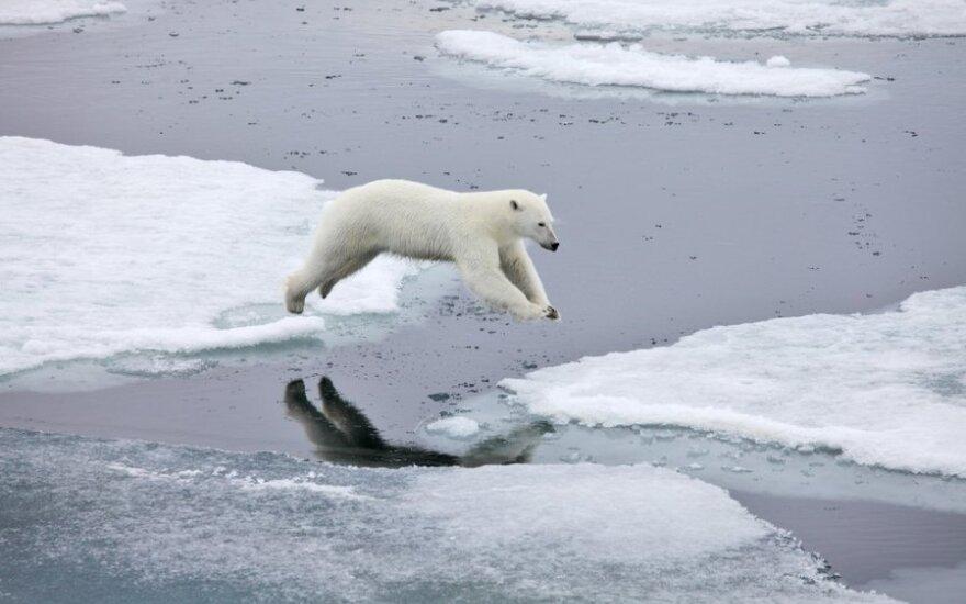 Baltieji lokiai Arkties salyne jokia retenybė