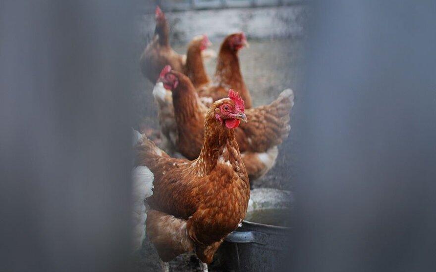 Meksikoje - paukščių gripo protrūkis. Išpjauta 2,5 mln. naminių paukščių