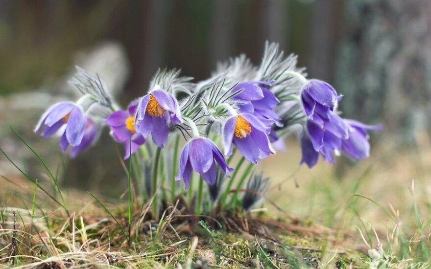 Balandžio mėnesį Rytų ir Pietų Lietuvos pušynus puošia vėjalandžių šilagėlių žiedai