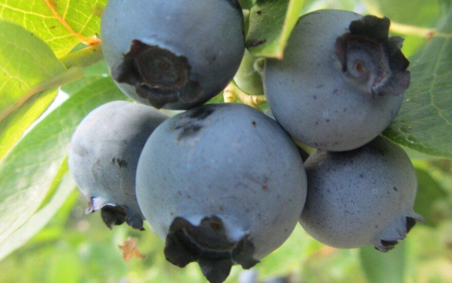 Kokias šilauoges auginti norintiems didelių ir skanių uogų