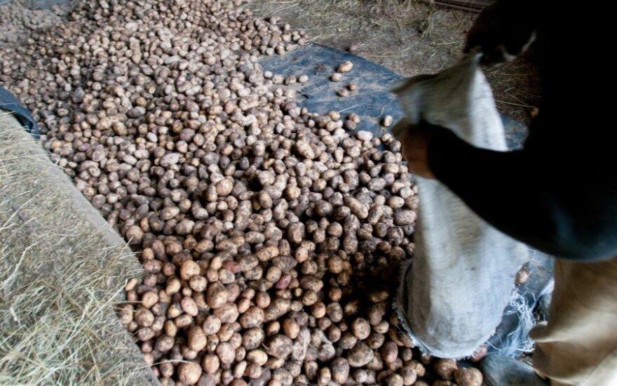 Lietuviškos bulvės vakarų europiečius pasiekė pirmąkart per 22 metus