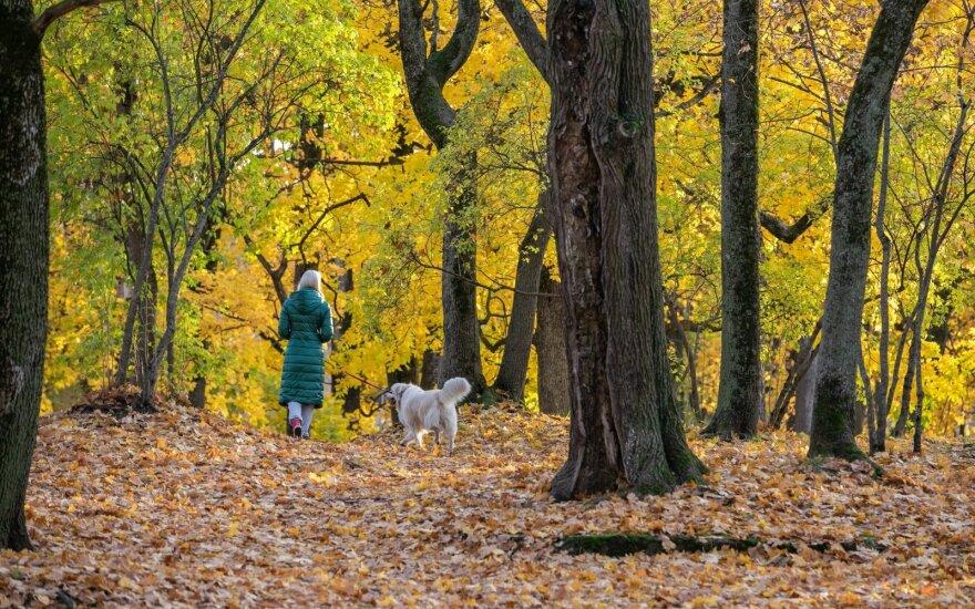 Vilniuje tvarkoma aplinka: išveš tūkstančius tonų lapų