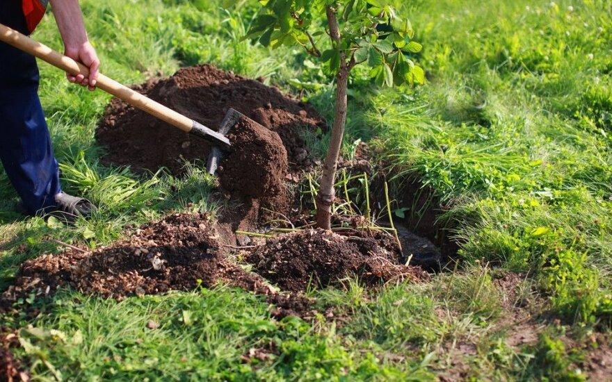 Patarimai sodininkams: kaip teisingai sodinti vaismedžius