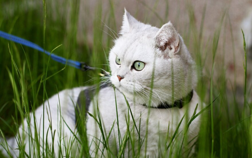 Kaip pripratinti katę prie pavadėlio