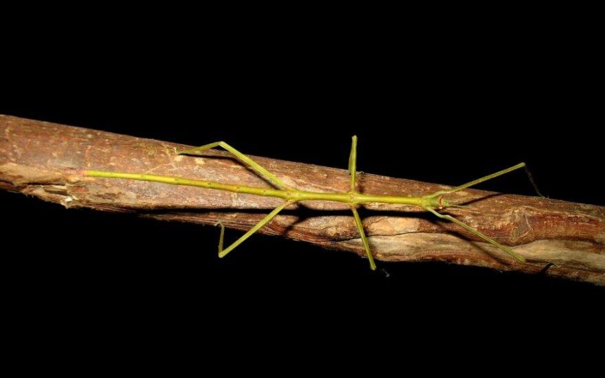Egzotinių gyvūnų mylėtojams – į šakelę panašus augintinis