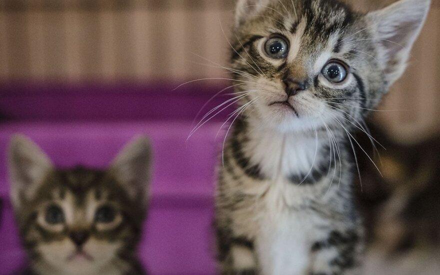 Išgelbėti keturi katinėliai dairosi namų