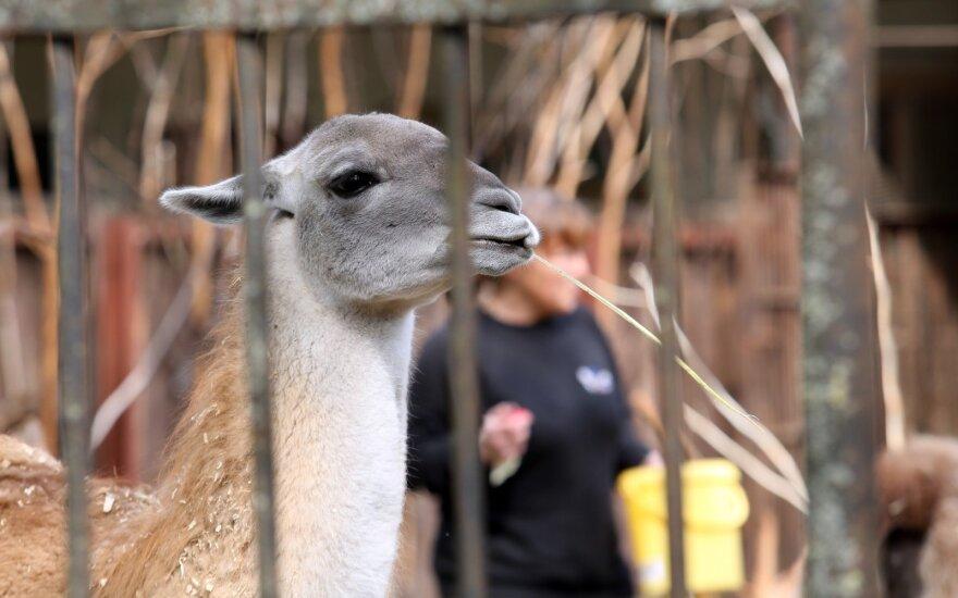 Ruoš naujas Zoologijos sodo rekonstrukcijos pirkimo sąlygas, darbus skaidys