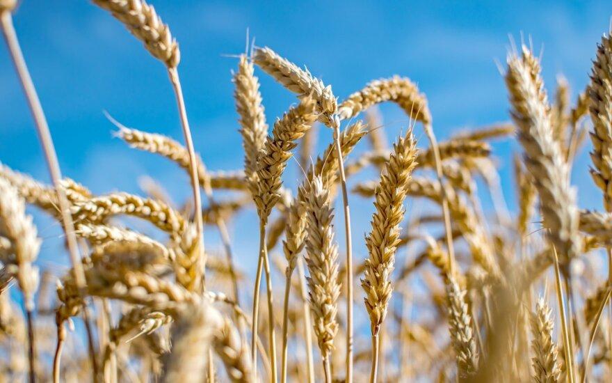 Grūdų rinka laukia derliaus rekordų