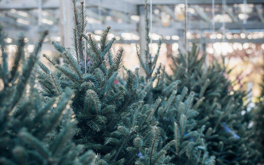 Panevėžyje keisis kalėdinių eglučių pardavimo vietos