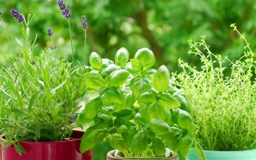 Žvalumo šaltiniai iš gamtos: sveikatai naudingos pavasarinės žolelės